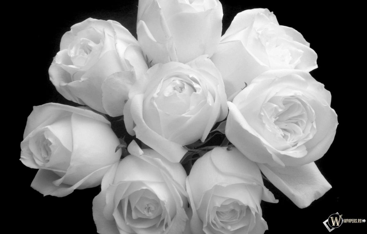 скачать фото розы белые